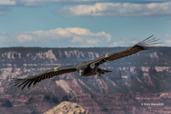 Eagle, Grand Canyon